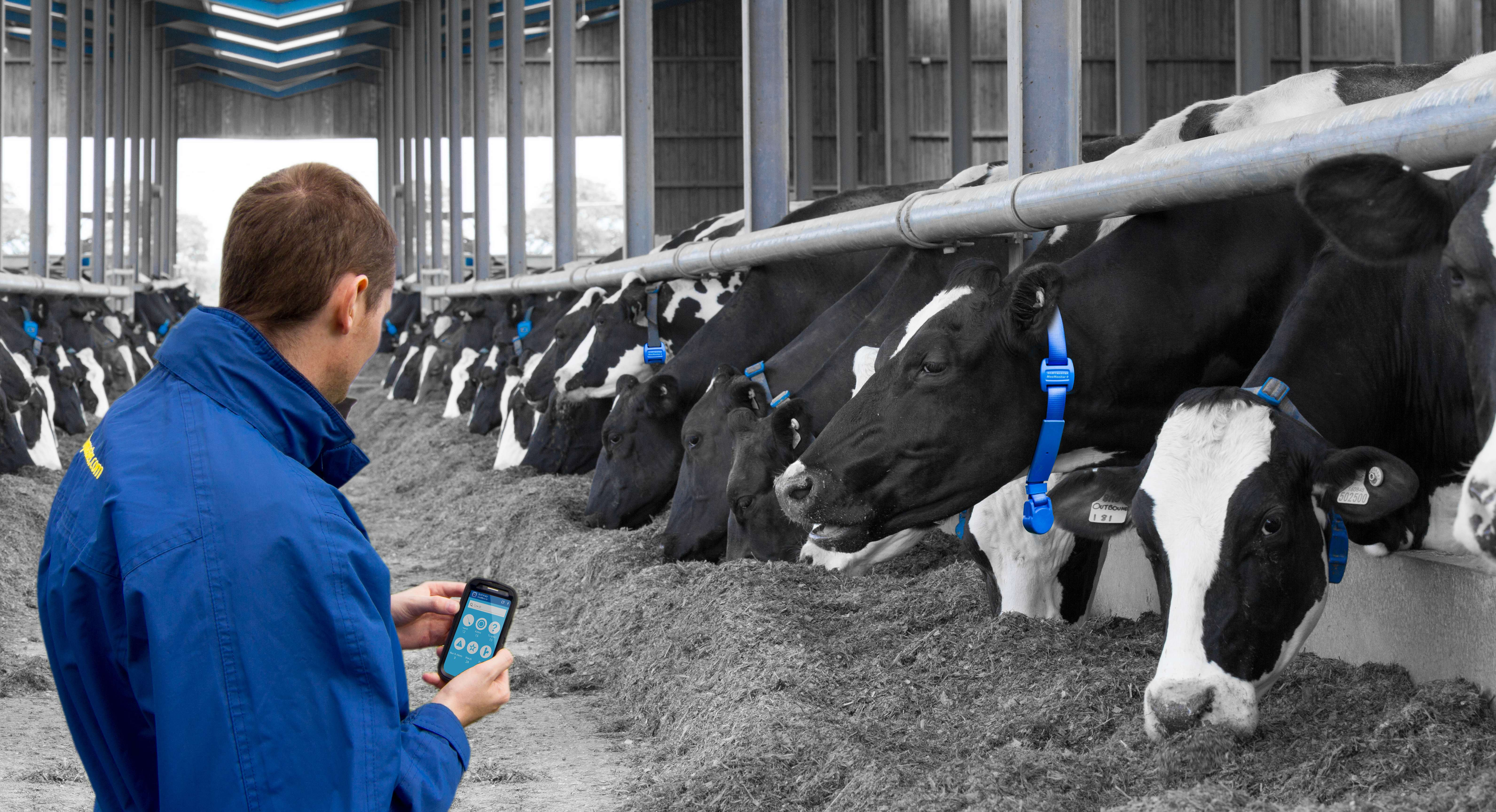The Moo Monitor is a collar that fits around every cow's neck and tells farmers on mobile devices when the best time to milk an individual cow is. Credit: Dairymaster.